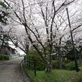 写真: 2017年4月9日 西公園 桜 福岡 さくら 写真 (101)