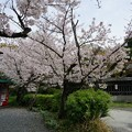 写真: 2017年4月9日 西公園 桜 福岡 さくら 写真 (110)