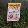 写真: 2017年4月9日 西公園 桜 福岡 さくら 写真 (112)
