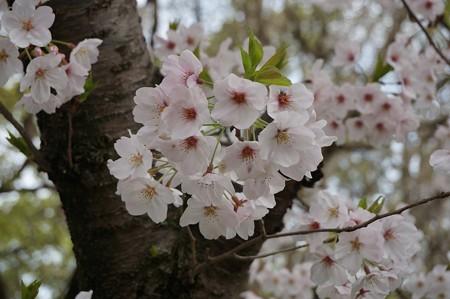 2017年4月9日 西公園 桜 福岡 さくら 写真 (115)