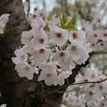 写真: 2017年4月9日 西公園 桜 福岡 さくら 写真 (115)