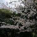 写真: 2017年4月9日 西公園 桜 福岡 さくら 写真 (118)