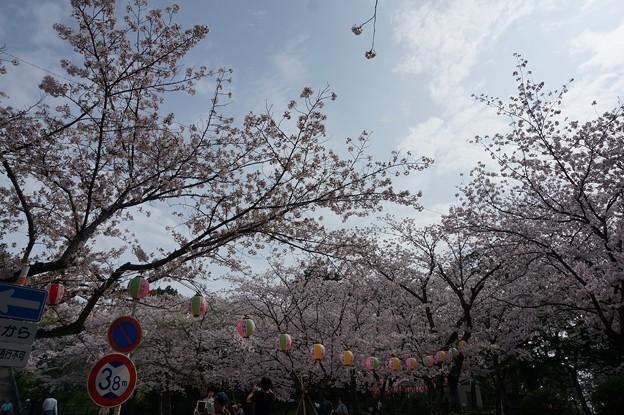 2017年4月9日 西公園 桜 福岡 さくら 写真 (131)