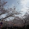 Photos: 2017年4月9日 西公園 桜 福岡 さくら 写真 (131)