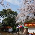 Photos: 2017年4月9日 西公園 桜 福岡 さくら 写真 (132)