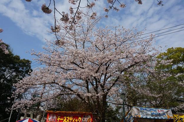 2017年4月9日 西公園 桜 福岡 さくら 写真 (133)
