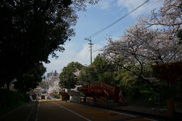 2017年4月9日 西公園 桜 福岡 さくら 写真 (135)