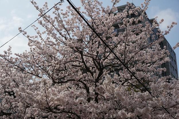 2017年4月9日 西公園 桜 福岡 さくら 写真 (138)