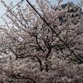 写真: 2017年4月9日 西公園 桜 福岡 さくら 写真 (138)
