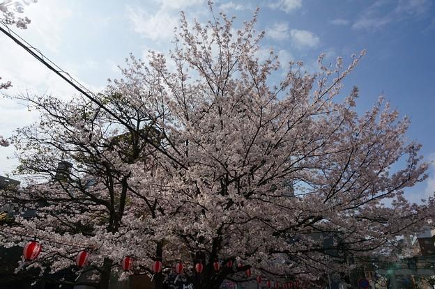 2017年4月9日 西公園 桜 福岡 さくら 写真 (140)