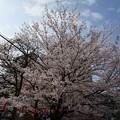 写真: 2017年4月9日 西公園 桜 福岡 さくら 写真 (140)