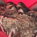 親鳥を待つ子供たち