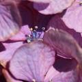 紫陽花・マクロ