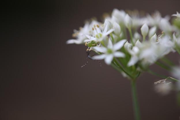 花韮に藪蚊
