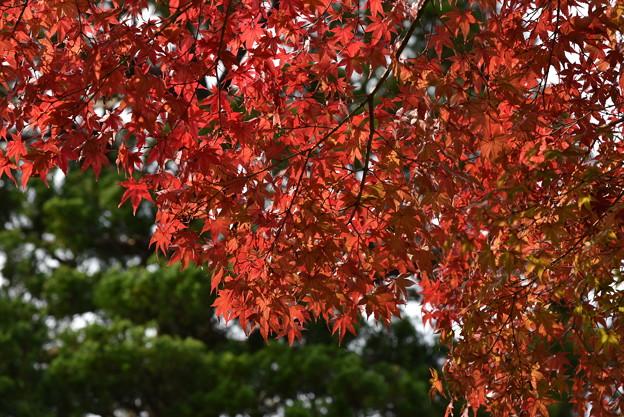 写真: 平等院の紅葉
