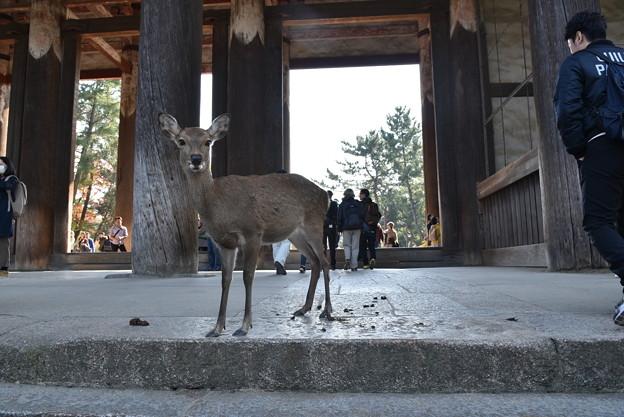 東大寺 中門にいた鹿