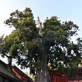 春日大社の大木