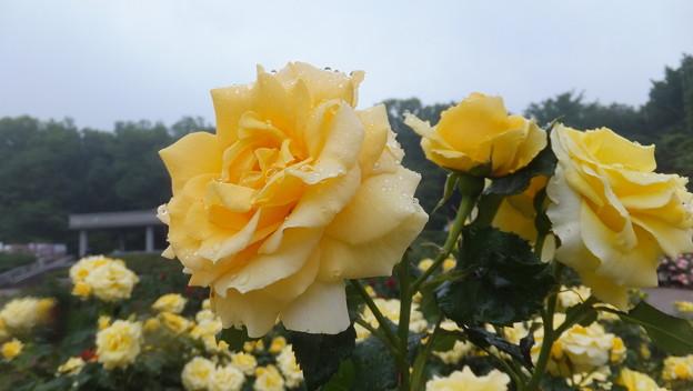 バラの花6