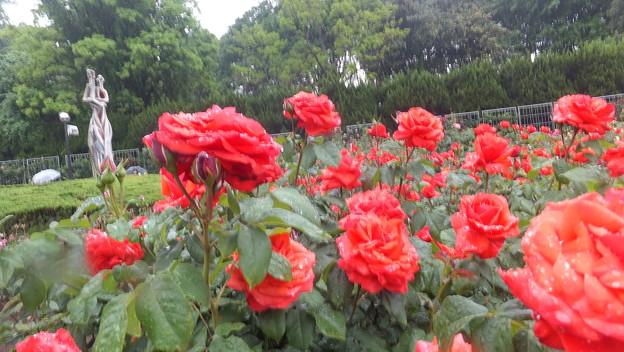 バラの花9