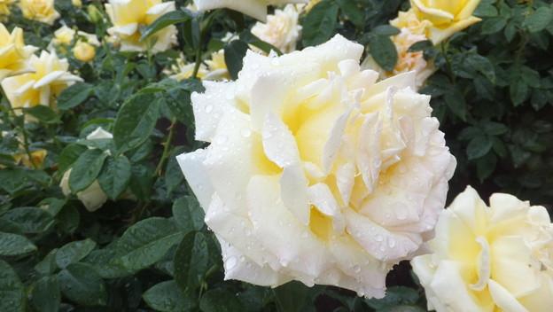 バラの花11