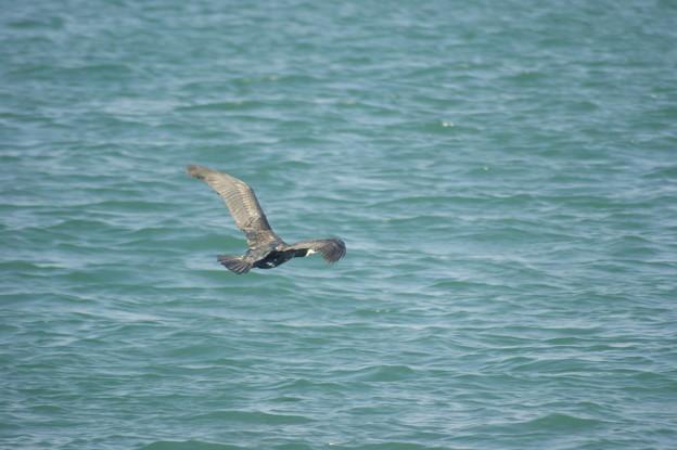 Photos: 海鵜