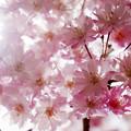 写真: 花に酔いました(桜)