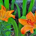 花との出合スカシユリ