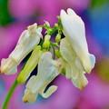 花との出会いコマクサ