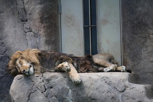 ♪ライオンは寝ている
