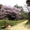 オキノ桜満開(ヤマザクラ)