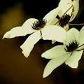 白のクレマチス