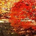 満天星(どうだん)の紅葉