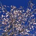 冬桜と青空