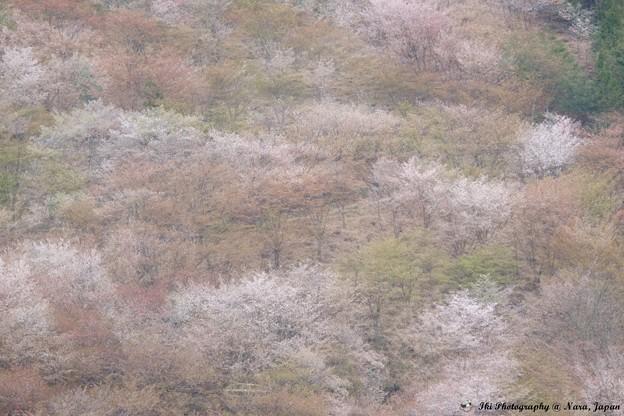 桜 吉野山
