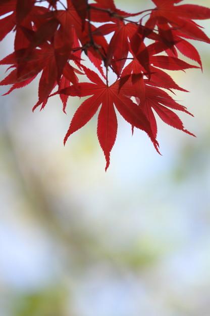 春紅葉 ~木陰~