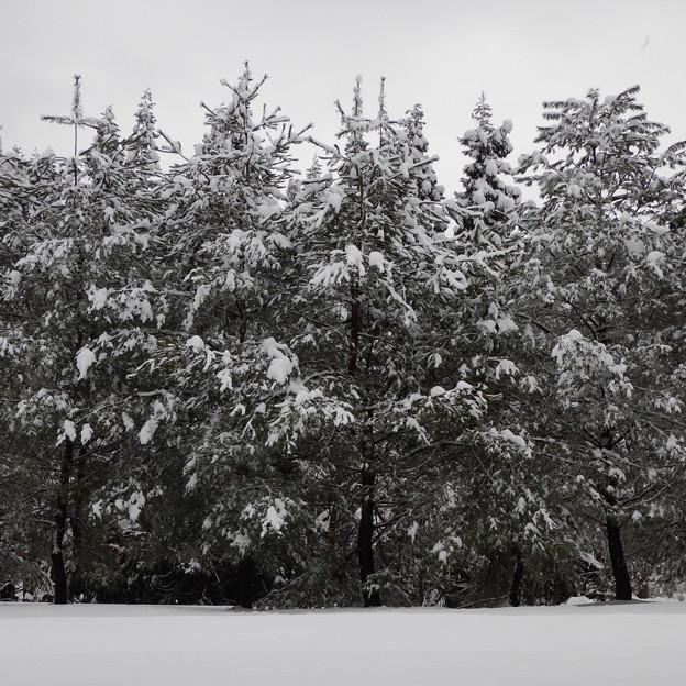 雪満開・松