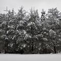 写真: 雪満開・松