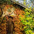 写真: ナツヅタのはう小屋