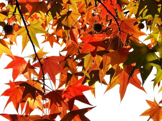 モミジバフウの紅葉 (1)