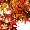 写真: モミジバフウの紅葉 (1)