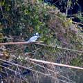 写真: 遠くのヤマセミ