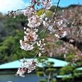 16 語り合う桜