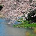 21 桜に水鳥