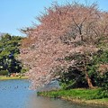 22 咲き誇る桜