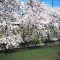 写真: 10 満開の桜