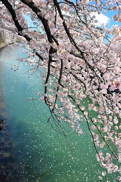 14 水に向かう桜