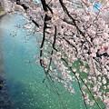 写真: 14 水に向かう桜
