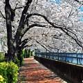 写真: 16 覆う桜路