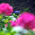 03 ひょっこり紫陽花