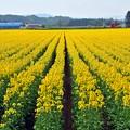 45 菜の花畑
